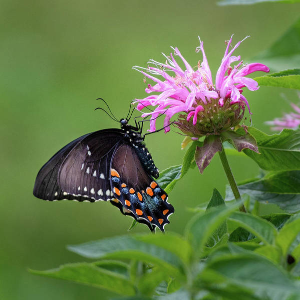 Photograph - Black Swallowtial Butterfly 2018 by Bill Wakeley