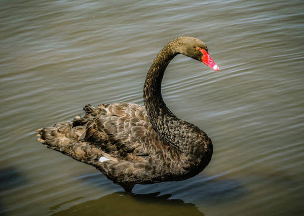 Photograph - Black Swan by Alison Frank