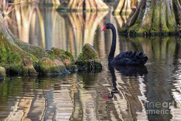 Photograph - Black Swan by Charles Hite