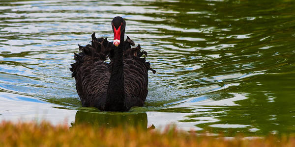 Photograph - Black Swan by Ed Gleichman