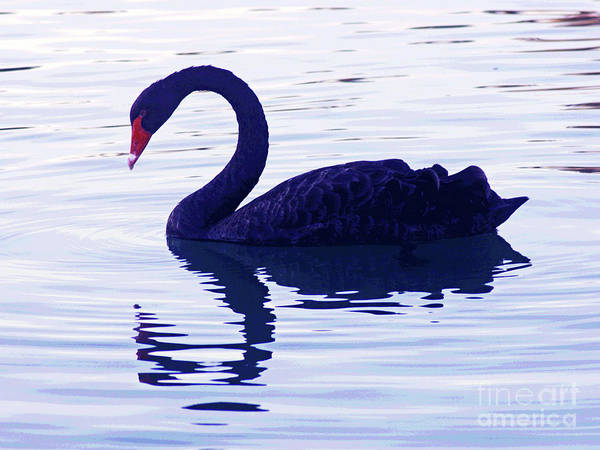 Photograph - Black Swan  by Larry Oskin