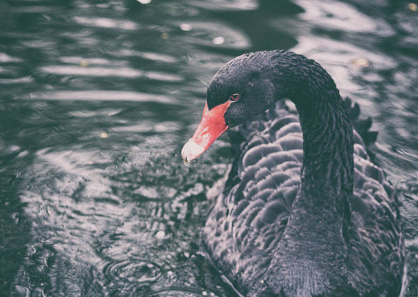 Swan Photograph - Black Swan by Martin Newman