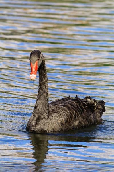 Photograph - Black Swan Of Furman University by Carol Montoya