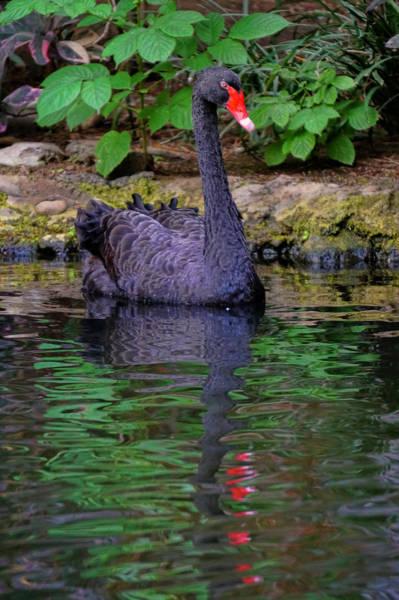 Photograph - Black Swan by Pamela Walton