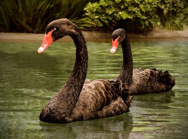 Photograph - Black Swans At Napa California by Brian Tada