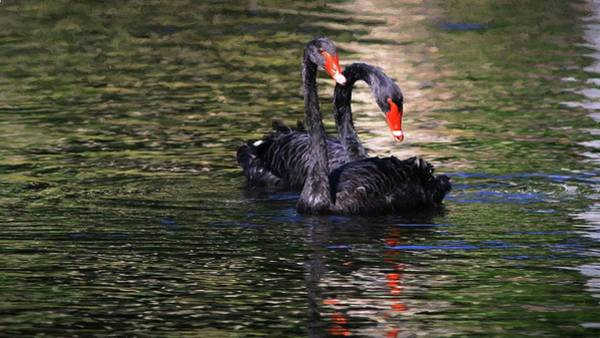 Photograph - Black Swans II by Carol Montoya