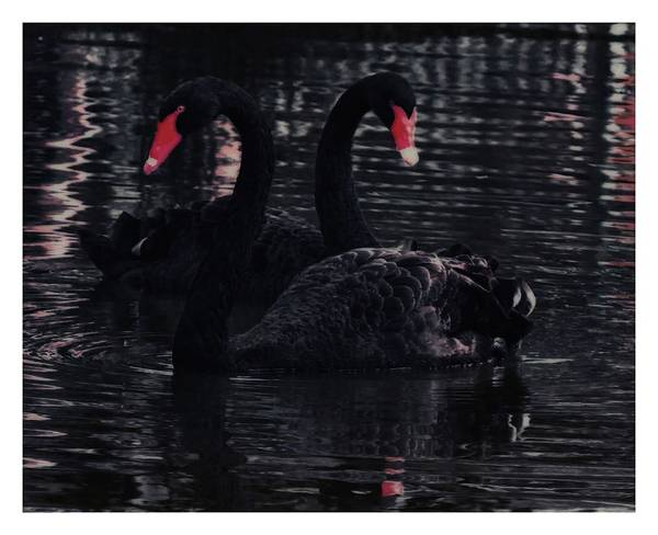 Photograph - Black Swans  by John Feiser