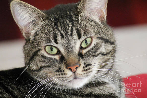 Photograph - Black Tabby by Donna L Munro