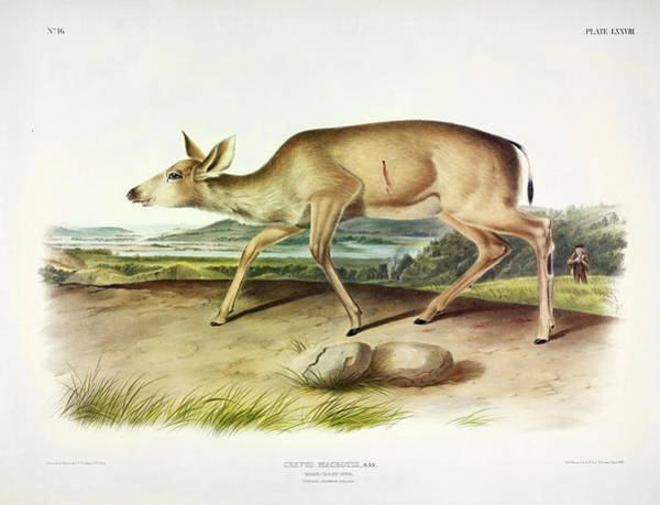 Wall Art - Painting - Black-tailed Deer by John James Audubon