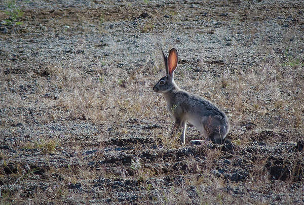 Wall Art - Photograph - Black Tailed Jackrabbit 2 by Rick Mosher