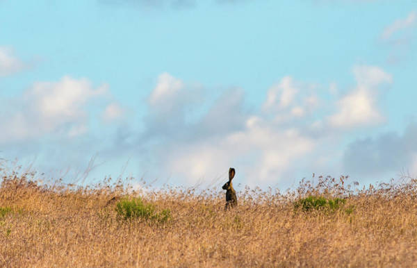 Wall Art - Photograph - Black Tailed Jackrabbit 3 by Rick Mosher
