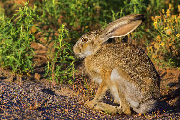 Photograph - Black-tailed Jackrabbit by John De Bord
