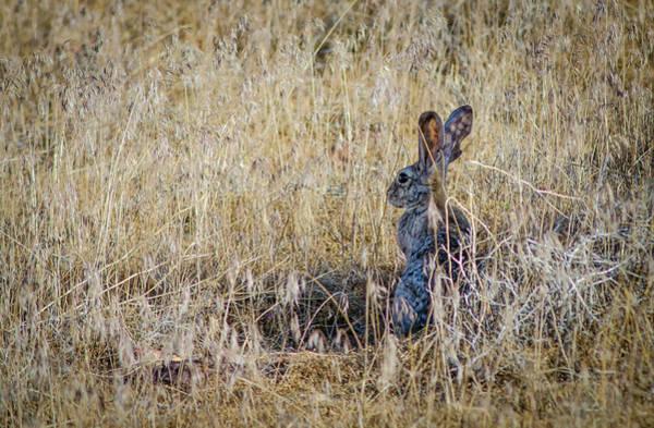 Wall Art - Photograph - Black Tailed Jackrabbit  by Rick Mosher