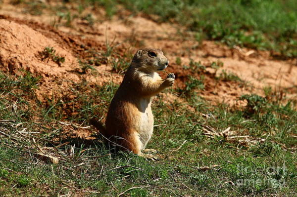 Marmot Photograph - Black-tailed Prairie Dog by Christiane Schulze Art And Photography