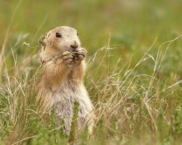 Photograph - Black-tailed Prairie Dog   by Jim Hughes