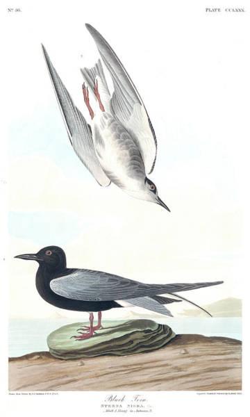 Wall Art - Painting - Black Tern by John James Audubon