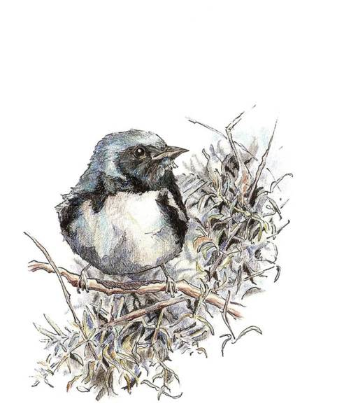 Drawing - Black-throated Blue Warbler by Abby McBride
