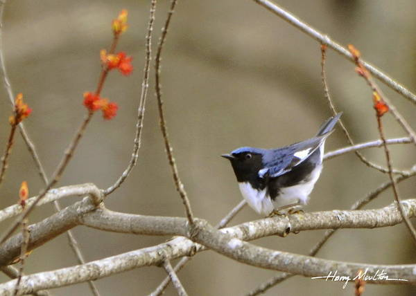 Photograph - Black-throated Blue Warbler by Harry Moulton