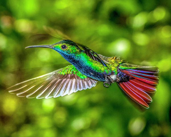 Photograph - Black Throated Mango Sparkles by James Solomon