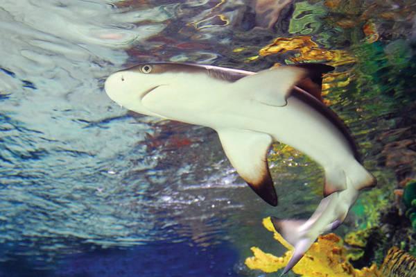 Photograph - Black Tipped Reef Shark-1 by Steve Somerville