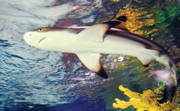 Photograph - Black Tipped Reef Shark by Steve Somerville