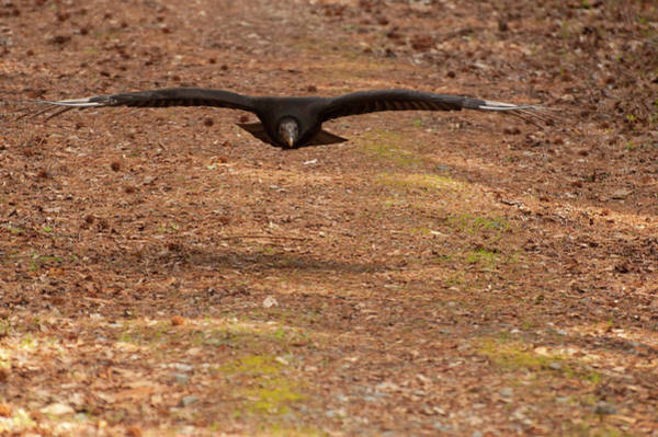 Digital Art - Black Vulture In Flight by Chris Flees