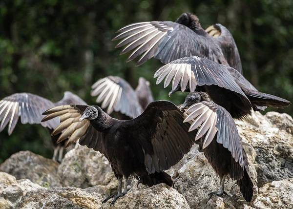 Photograph - Black Vultures by Framing Places