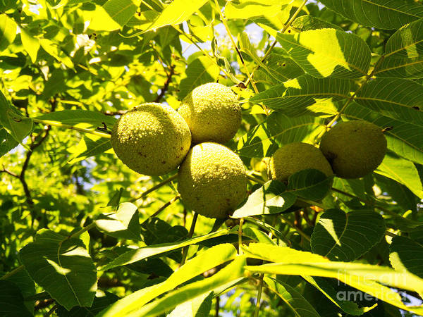 Photograph - Black Walnuts by Robert Knight
