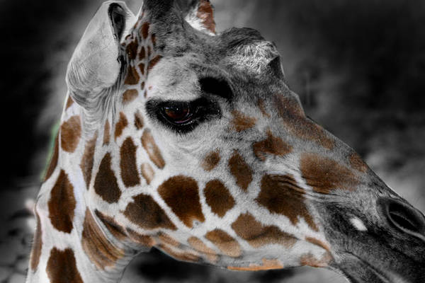 Black  White And Color Giraffe Art Print