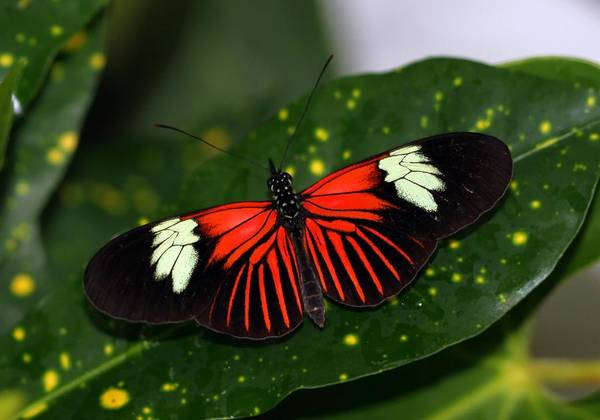 Photograph - Black White And Red Butterfly by Bob Slitzan