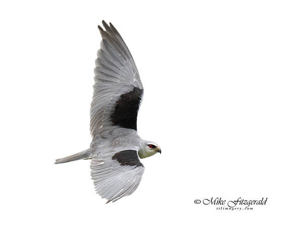 Photograph - Black-winged Kite by Mike Fitzgerald