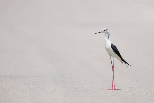 Wall Art - Photograph - Black-winged Stilt by Happy Home Artistry