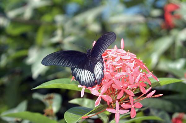 Wall Art - Photograph - Black Wings, Pink Petals by Alynne Landers