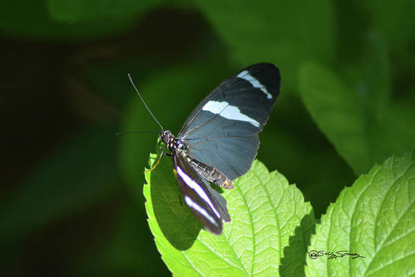 Photograph - Black With White Striped Butterfly by Sally Sperry
