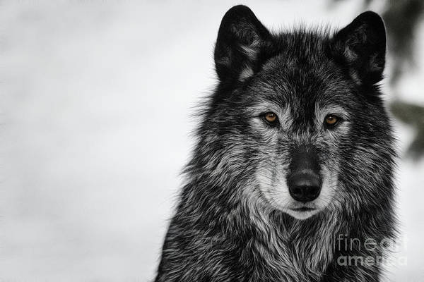 Photograph - Black Wolf I by Brad Allen Fine Art