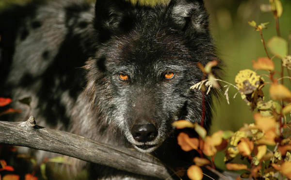 Photograph - Black Wolf by Ronnie and Frances Howard