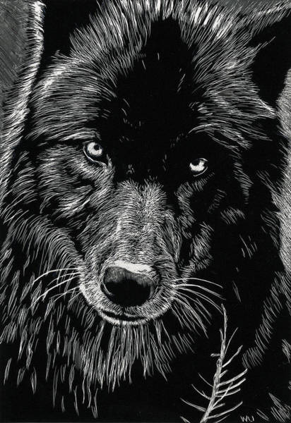 Drawing - Black Wolf by William Underwood