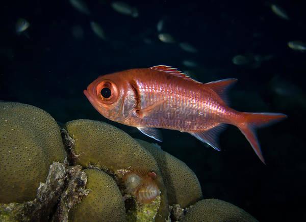 Lurking Photograph - Blackbar Soldierfish by Jean Noren