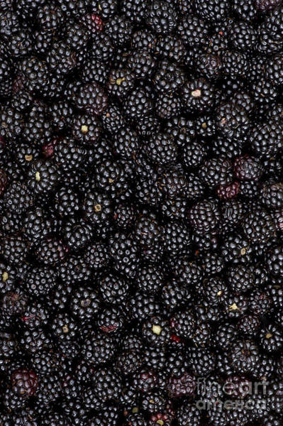 Rosaceae Wall Art - Photograph - Blackberry Harvest  by Tim Gainey