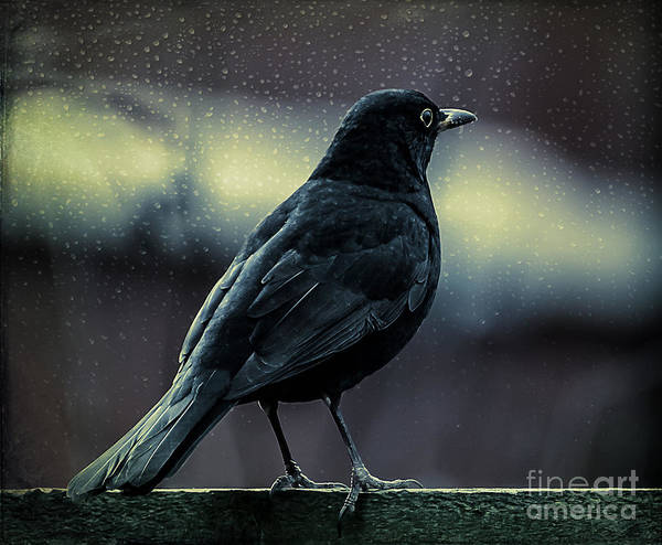 Photograph - Blackbird by Adrian Evans