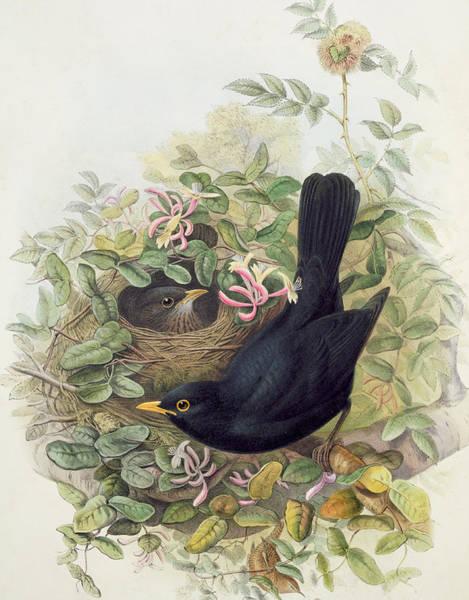Blackbirds Painting - Blackbird,  by John Gould