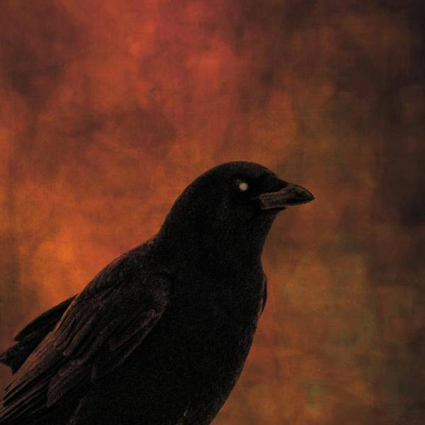 Wall Art - Photograph - Blackbird On Burnt Orange by Gothicrow Images
