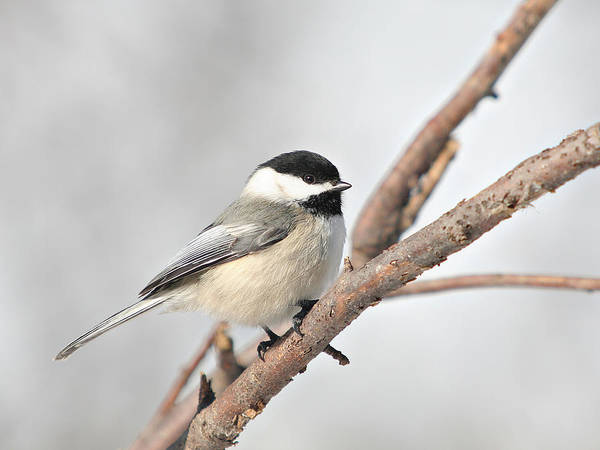 Wall Art - Photograph - Blackcap Chickadee On A Branch by Laurie With