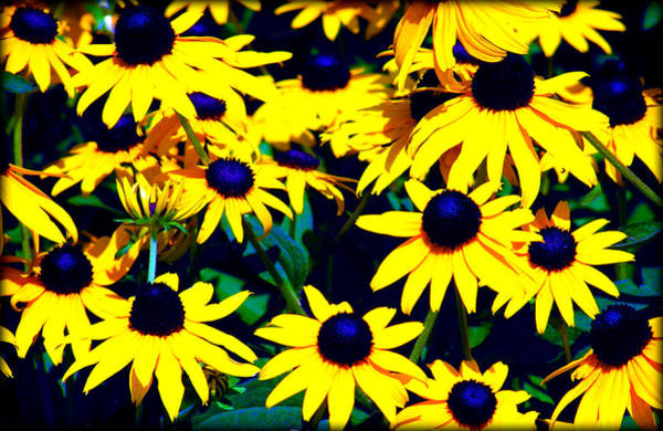 Photograph - Blackeye Susans by Susie Weaver