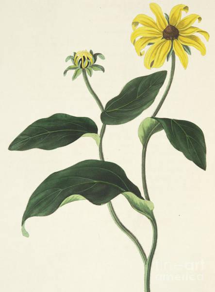 Golden Bloom Painting - Blackeyed Susan Or Rudbeckia Hirta, Vintage Botanical Print by Margaret Roscoe