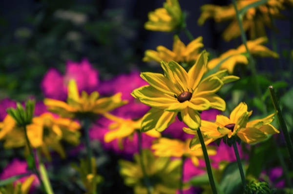 Photograph - Blackeyed Susans - Philadelphia Flower Show by Bill Cannon