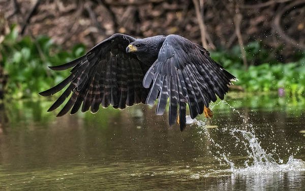 River Hawk Photograph - Blackhawk Fishing #1 by Wade Aiken