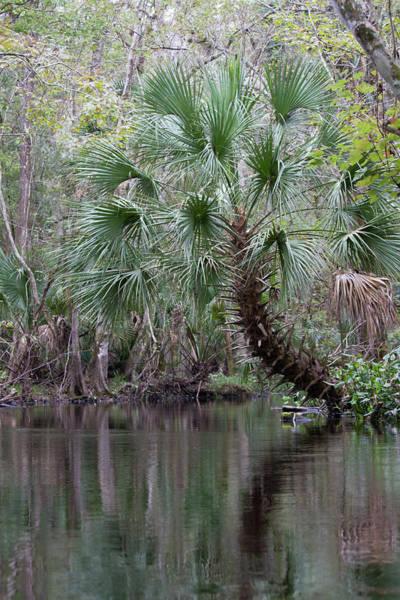 Photograph - Blackwater Creek Palm by Paul Rebmann