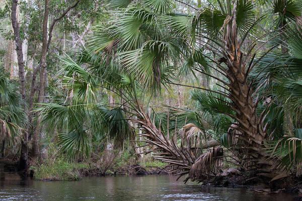 Photograph - Blackwater Creek Palms by Paul Rebmann