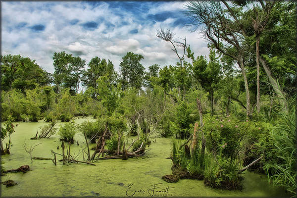 Photograph - Blackwater Swamp by Erika Fawcett